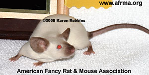 Seal Point Siamese Mouse