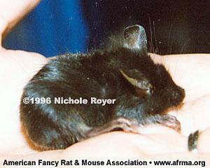 Black Tailless mouse