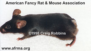 Black Tailless male mouse