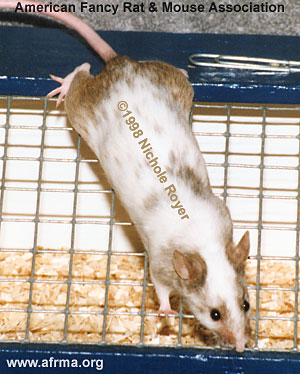 Agouti Variegated Mouse