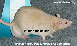 Blue-Beige Velvet Rat